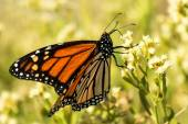 Farfalla monarca — Foto Stock
