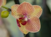 Yellow and reddish colored orchid — Stock Photo