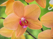Yellow and pink colored orchid — Stock Photo
