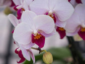 Pink and purple colored orchids — Stock Photo