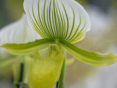 Green and white striped orchid — Stock Photo