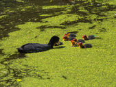 Coot feeding her young chicks — Stock Photo