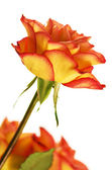 Autumn Splendor Rose — Stock Photo