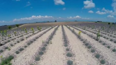 Aerial video Provence - lavender field in the Gordes ,France — Vidéo