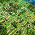 View of the Cinque Terre village coastline of Vernazza, vine and — Stock Photo #54698915
