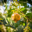 Ripe Colorful Pomegranate Fruit on Tree Branch. The Foliage on t — Stock Photo #56190873