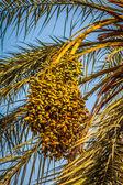 Beautiful yellow khalal dates in a tree — Stock Photo