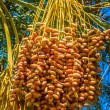 Tunisia, organic dates ripening on the palm tree in the Tunisia  — Stock Photo #56886339
