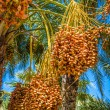 Tunisia, organic dates ripening on the palm tree in the Tunisia  — Stock Photo #56886347