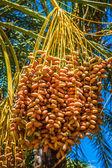 Tunisia, organic dates ripening on the palm tree in the Tunisia  — Stock Photo