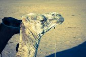 Arabian camel or Dromedary also called a one-humped camel in the — Stock Photo