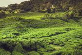 Tea Plantation in the Cameron Highlands, Malaysia — Stock Photo