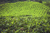 Landscape view of Tea Plantation in Cameron Highland — Stock Photo