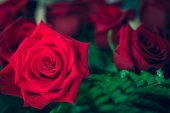 Beautiful red rose macro shot close up. Valentines Day — Stock Photo