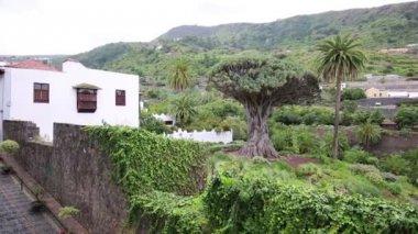 Famous Drago Tree - Icod de los Vinos, Tenerife, Canary Islands, Spain — Stock Video
