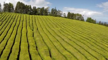 Aerial Footage tea plantation — Stock Video