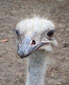 Ostrich portrait — Stock Photo