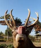 Buck with tongue — Stock Photo