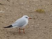 Little seagull — Stock Photo