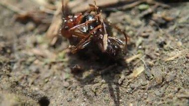 Ants fighting — Stock Video