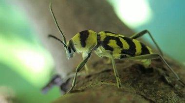 Striped bug deposing its eggs — Stock Video