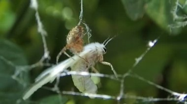 Spider paralyzing the wings of a moth — Stock Video