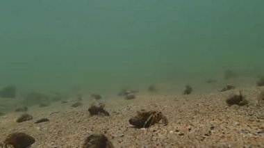 Hermit crabs invasion — Stock Video