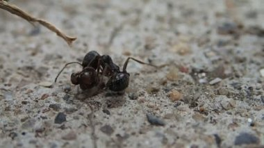 Ant fighting with a head of another ant — Stock Video