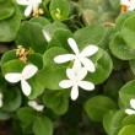 Flor de Carissa grandiflora — Foto de Stock   #70947003