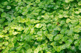 Group of Shield Pennywort — Stock Photo