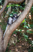 Dusky langur, Spectacled langur or Trachypithecus obscurus monke — Stock Photo