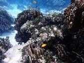 Koraller och rev liv — Stockfoto