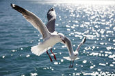 Silver gull — Stock Photo