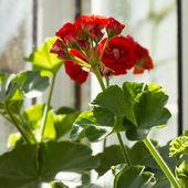 Blooming Pelargonium hortorum — Stock Photo