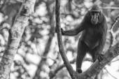 Crested black macaque while looking at you in the forest — Stock fotografie