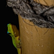 Постер, плакат: Gold dust day gecko while looking at you