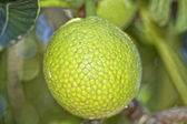 Breadfruit on tree — Stock Photo