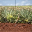 Pineapple plantation in hawaii — Stock Photo #52728739