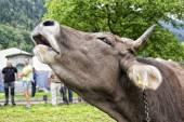 Moo vaca — Foto de Stock