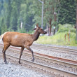 Elk deers near railway station in Rocky Mountains — Stock Photo #53014171