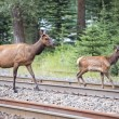 Elk deers near railway station in Rocky Mountains — Stock Photo #53014177