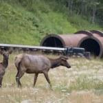 Elk deers near railway station in Rocky Mountains — Stock Photo #53014185