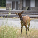 Elk deers near railway station in Rocky Mountains — Stock Photo #53014187