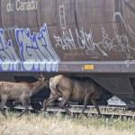 Elk deers near railway station in Rocky Mountains — Stock Photo #53014199
