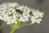 Fliegen-makro während des essens — Stockfoto