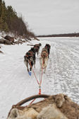 Sled dog while running on the snow — Stock Photo
