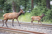 Elk deers near railway station in Rocky Mountains — Stock Photo