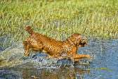 Happy Dog English cocker spaniel while running to you — Foto Stock