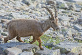 Isolated ibex deer long horn sheep Steinbock — Stock Photo