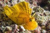 Yellow Leaf fish in Cebu — Stock Photo